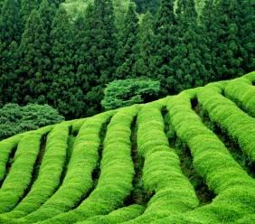 Zelený čaj - malý zázrak
